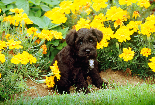 PUP 24 CE0002 01 © Kimball Stock Miniature Schnauzer Puppy Sitting By Flowers Grass