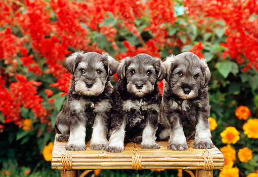 PUP 24 CE0003 01 © Kimball Stock Three Miniature Schnauzer Puppies Sitting On Bench By Flowers