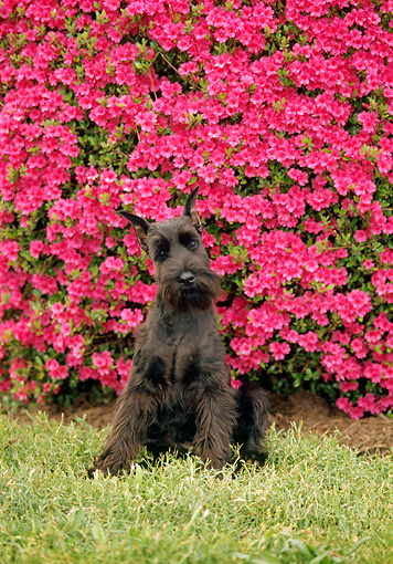 PUP 24 CE0004 01 © Kimball Stock Standard Schnauzer Puppy Sitting On Grass By Pink Flowers