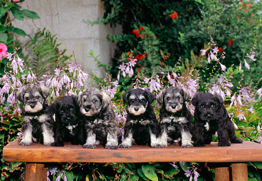 PUP 24 CE0006 01 © Kimball Stock Six Miniature Schnauzer Puppies Sitting On Bench By Purple Flowers