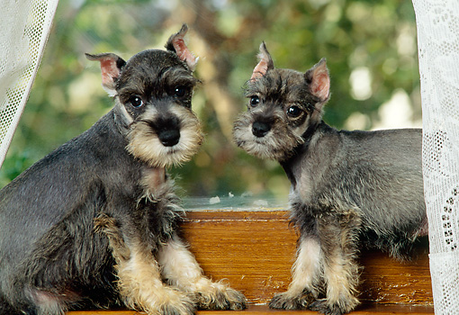 PUP 24 RK0003 03 © Kimball Stock Two Miniature Schnauzer Puppies Sitting In Window With Lace Curtains
