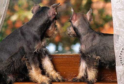 PUP 24 RK0003 11 © Kimball Stock Two Miniature Schnauzer Puppies Sitting In Window With Lace Curtains