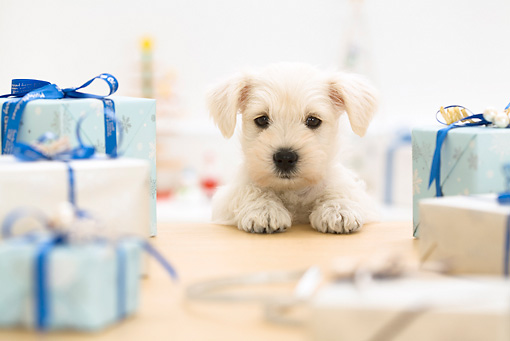 PUP 24 YT0003 01 © Kimball Stock Miniature Schnauzer Puppy Standing At Coffee Table With Presents