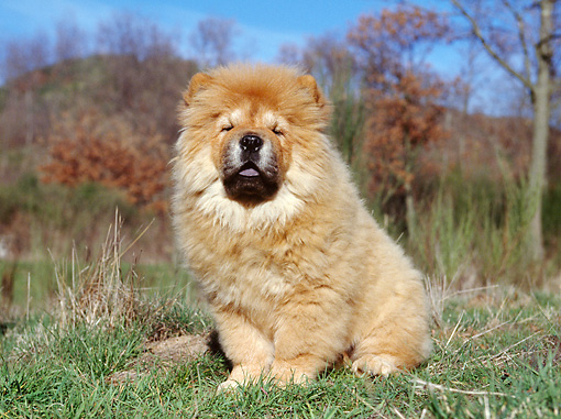 PUP 25 CB0001 01 © Kimball Stock Chow Chow Puppy Sitting On Grass