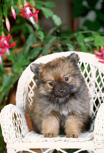 PUP 25 CE0003 01 © Kimball Stock Chow Chow Puppy Sitting In White Wicker Chair