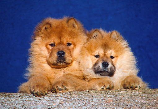 PUP 25 GR0003 02 © Kimball Stock Head Shot Of Two Chow Chow Puppies On Log Blue Background