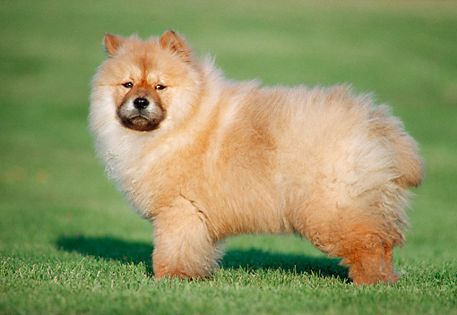 PUP 25 GR0009 01 © Kimball Stock Chow Chow Puppy Standing In Grass Field Profile