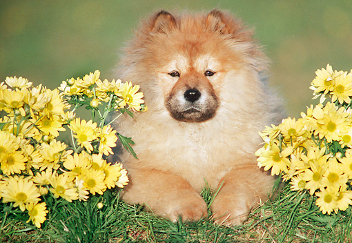 PUP 25 GR0010 01 © Kimball Stock Chow Chow Puppy Laying On Grass With Yellow Daisies
