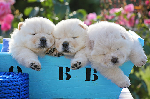 PUP 25 SJ0001 01 © Kimball Stock Chow Chow Puppies Laying In Blue Box