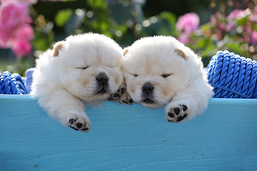 PUP 25 SJ0002 01 © Kimball Stock Chow Chow Puppies Laying In Blue Box
