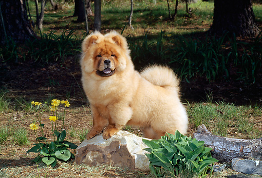 PUP 25 CE0001 01 © Kimball Stock Chow Chow Puppy Standing On Rock By Log Flowers Trees
