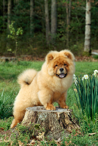 PUP 25 CE0002 01 © Kimball Stock Chow Chow Puppy Standing On Tree Stump By Daffodils