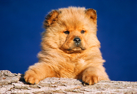 PUP 25 GR0002 01 © Kimball Stock Head Shot Of Chow Chow Puppy On Log Blue Background