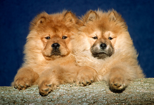 PUP 25 GR0003 01 © Kimball Stock Head Shot Of Two Chow Chow Puppies On Log Blue Background