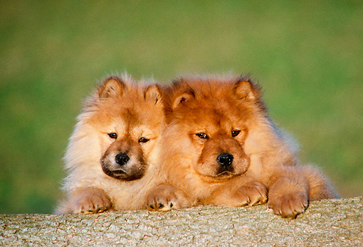 PUP 25 GR0008 01 © Kimball Stock Two Chow Chow Puppies Sitting Behind Log