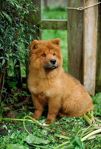 PUP 25 RC0001 01 © Kimball Stock Portrait Of Chow Chow Puppy Sitting By Fence In Garden