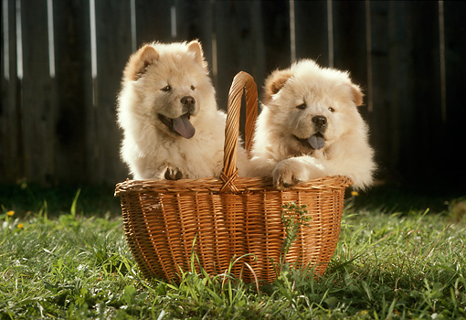 PUP 25 RC0002 01 © Kimball Stock Portrait Of Two Chow Chow Puppies Sitting In Basket In Garden