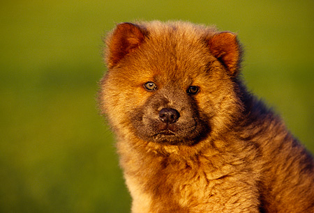PUP 25 RK0001 05 © Kimball Stock Head Shot Of Chow Chow Green Background