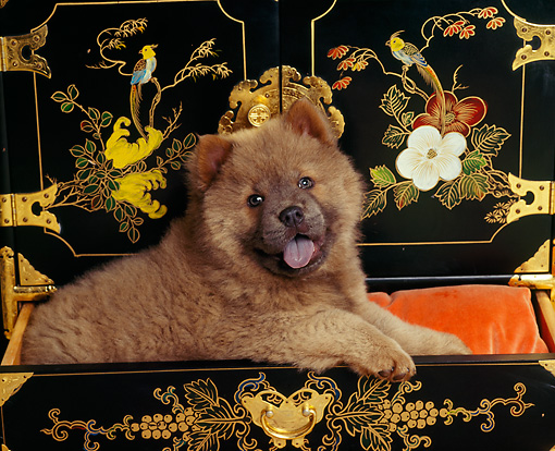 PUP 25 RK0002 05 © Kimball Stock Chow Chow Puppy Sitting In Black Oriental Chest
