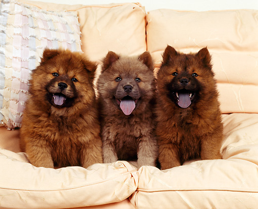 PUP 25 RK0004 08 © Kimball Stock Three Chow Chow Puppies Sitting On Couch
