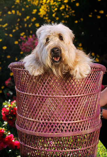 PUP 26 RC0002 01 © Kimball Stock Head Shot Of Bearded Collie Puppy Leaning Over Back Of Rattan Chair By Flowers