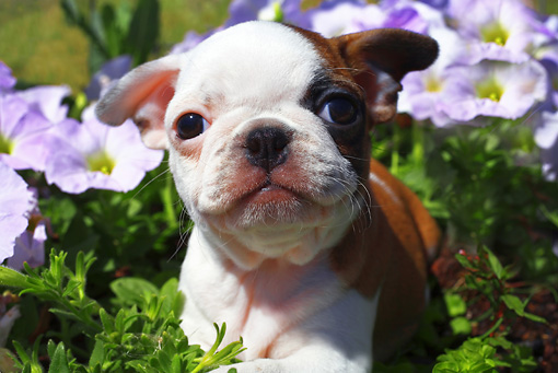 PUP 26 RD0001 01 © Kimball Stock Boston Terrier Pug Mixed Breed Puppy Laying In Purple Flowers Close Up