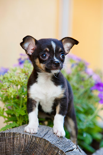 PUP 27 CB0005 01 © Kimball Stock Chihuahua Puppy Standing In Planter Box By Purple Flowers