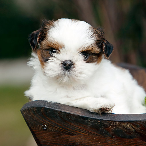 PUP 27 CB0006 01 © Kimball Stock Close-Up Of Shih Tzu Puppy Sitting In Planter Box