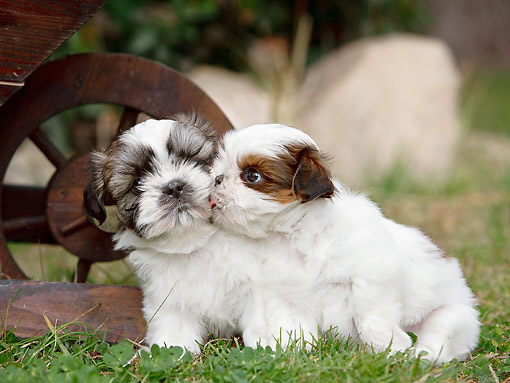 PUP 27 CB0007 01 © Kimball Stock Two Shih Tzu Puppies Kissing On Grass By Wooden Wheel