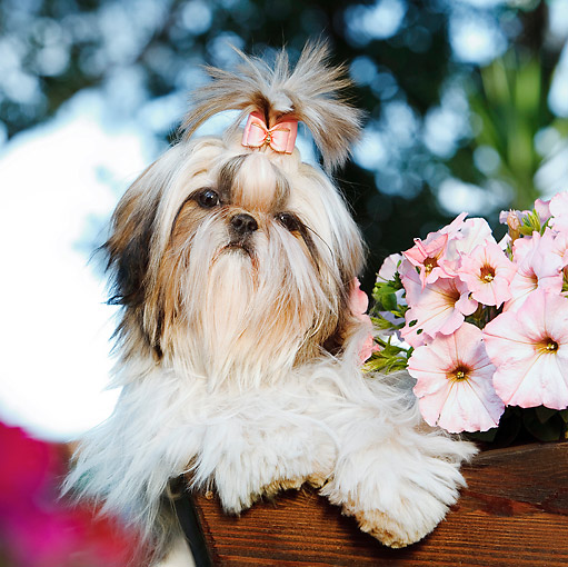 PUP 27 CB0009 01 © Kimball Stock Shih Tzu Puppy Sitting In Planter Box With Pink Flowers