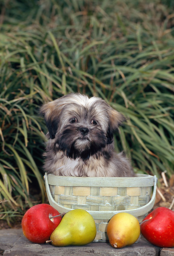 PUP 27 CE0071 01 © Kimball Stock Lhasa Apso Puppy Sitting Inside Woven Basket By Apples And Pears