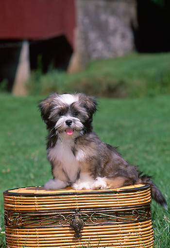 PUP 27 CE0072 01 © Kimball Stock Lhasa Apso Puppy Sitting On Basket