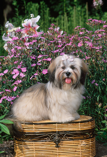 PUP 27 CE0073 01 © Kimball Stock Lhasa Apso Puppy Sitting On Basket By Pink Flowers