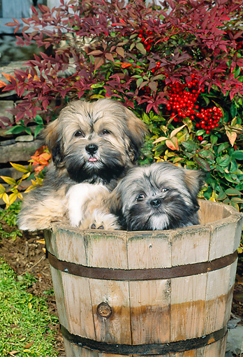 PUP 27 CE0075 01 © Kimball Stock Lhasa Apso Puppies Sitting Inside Flower Pot