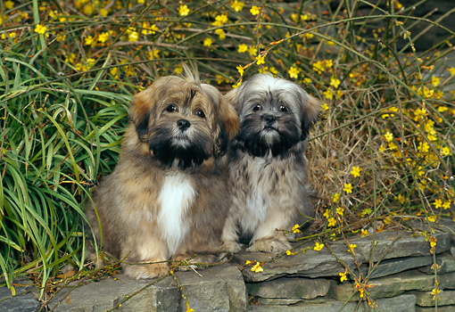 PUP 27 CE0076 01 © Kimball Stock Lhasa Apso Puppies Sitting On Rock Wall By Yellow Flowers
