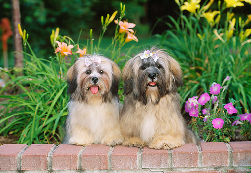 PUP 27 CE0077 01 © Kimball Stock Lhasa Apso Puppies Sitting On Brick Wall In Garden