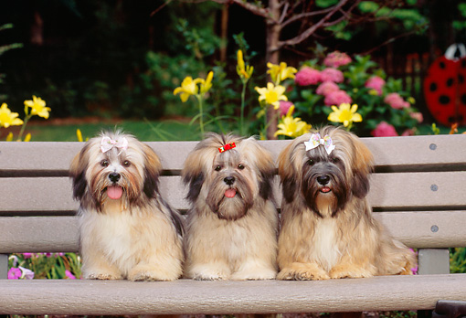 PUP 27 CE0078 01 © Kimball Stock Lhasa Apso Puppies Sitting On Bench In Garden