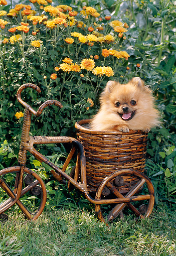 PUP 27 CE0081 01 © Kimball Stock Pomeranian Puppy Sitting In Wicker Bike Basket In Garden
