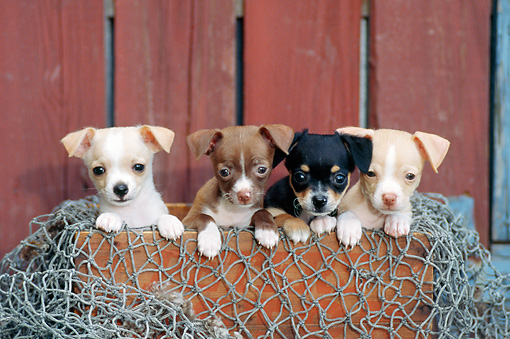PUP 27 CE0082 01 © Kimball Stock Four Chihuahua Puppies Peeking Out Of Wooden Box With Fishing Net