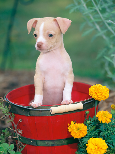PUP 27 CE0085 01 © Kimball Stock Chihuahua Puppy Sitting In Red Bucket In Garden