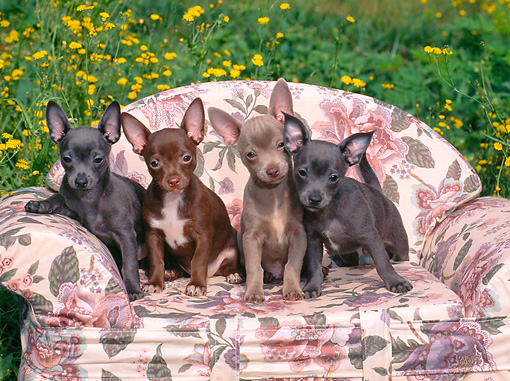 PUP 27 CE0086 01 © Kimball Stock Chihuahua Puppies Sitting On Floral Sofa By Buttercups