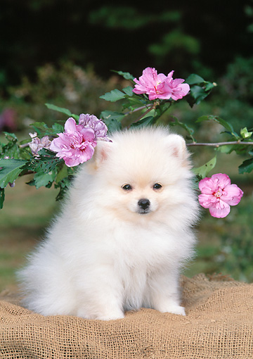 PUP 27 CE0087 01 © Kimball Stock Pomeranian Puppy Sitting On Burlap By Pink Blossoms