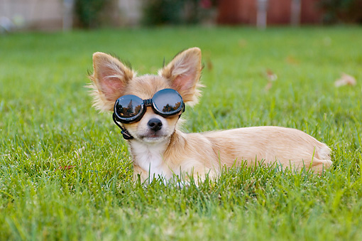 PUP 27 CW0015 01 © Kimball Stock Humorous Tan Chihuahua Puppy Wearing Goggles Laying On Grass