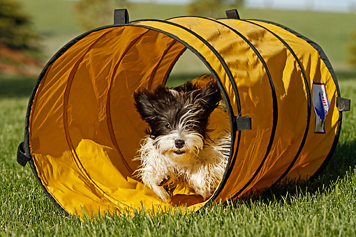PUP 27 DB0001 01 © Kimball Stock Havanese Puppy Playing In Tube