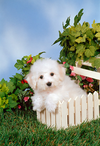 PUP 27 FA0008 01 © Kimball Stock Bichon Frise Puppy Leaning On White Fence In Garden