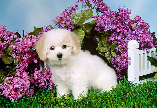 PUP 27 FA0009 01 © Kimball Stock Bichon Frise Puppy Sitting On Grass By Purple Flowers