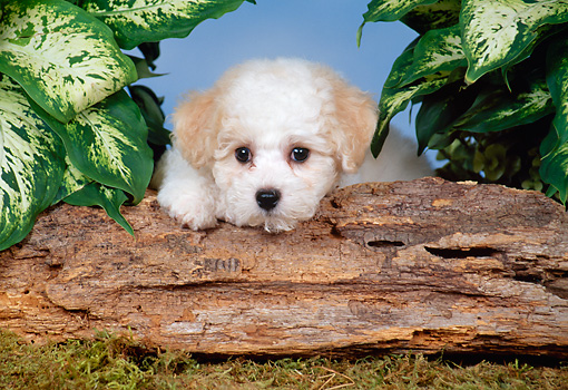 PUP 27 FA0010 01 © Kimball Stock Bichon Frise Puppy Resting On Log