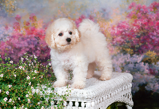 PUP 27 FA0011 01 © Kimball Stock Bichon Frise Puppy Standing On White Wicker Bench