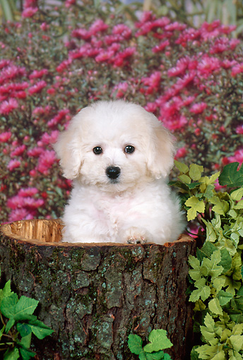 PUP 27 FA0012 01 © Kimball Stock Bichon Frise Puppy Sitting In Hollow Stump By Flowers