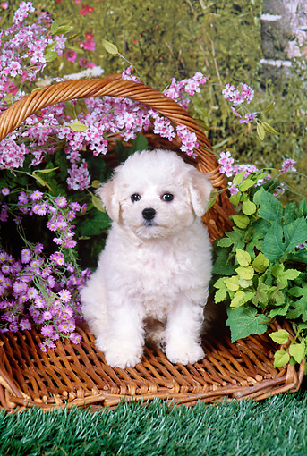 PUP 27 FA0013 01 © Kimball Stock Bichon Frise Puppy Sitting In Basket By Pink Flowers